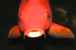 Koi Goldfish in pond