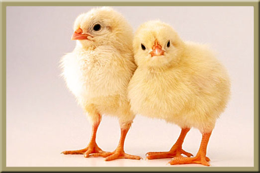 The Baby Chicks are Back!