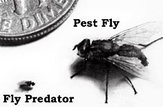 Fly Predator size compared to Pest Fly