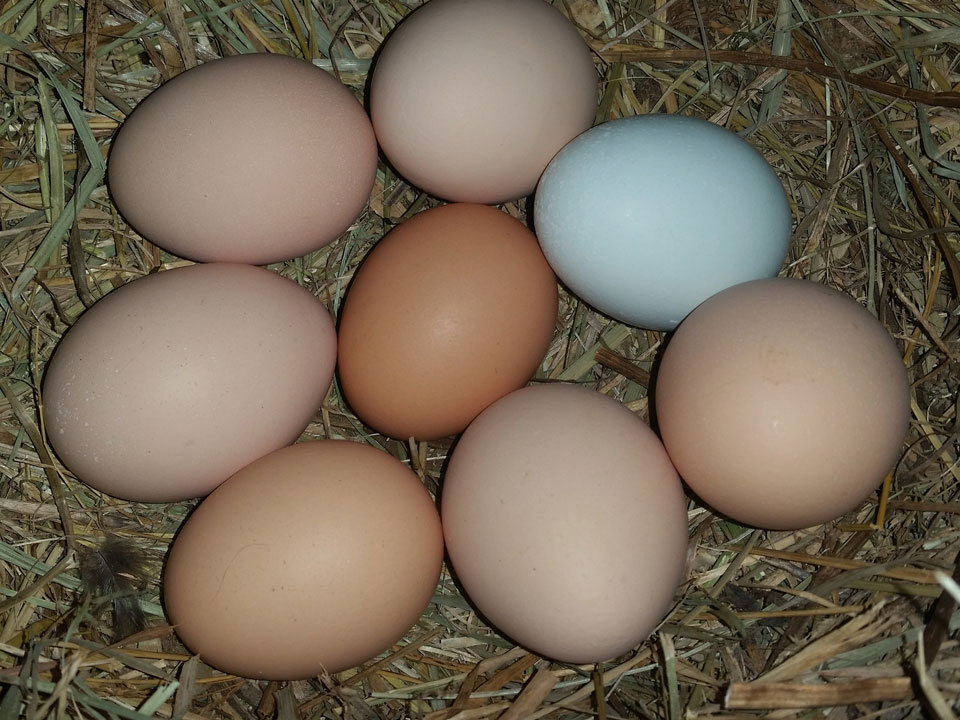 Different breeds of chickens lay eggs of different colors.