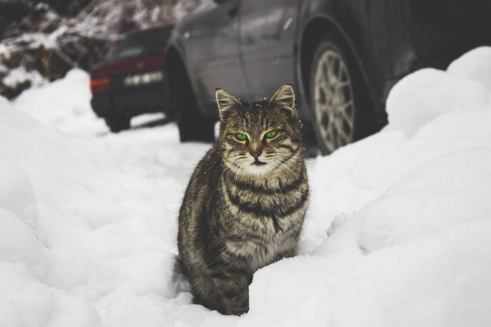 Cats may climb under hoods to keep warm from a car's engine.