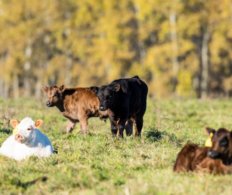 Tips for Weaning Calves