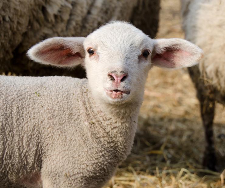 Transitioning Nursing Lambs